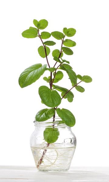 hydroponics-mint.jpg