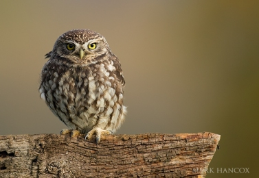 little_owl_12_new_web_