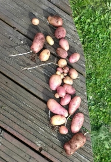 Pippa potato crop